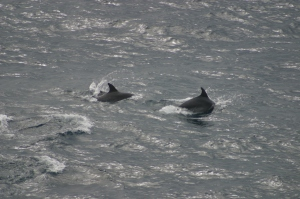 Two Bottlenose Dolphins surface close to the ship - a thrilling sight!