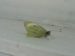 Clouded Yellow butterflies are scarce migrants to Britain and this has been a very poor year for them - so this sighting in the middle of the North Sea is a real find!