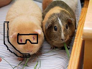 Spot the difference! Beth discovers that the same word is used to describe porpoise and guinea pig in Danish