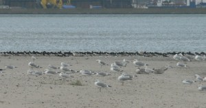 Gulls and wading birds gather together to refuel on migration
