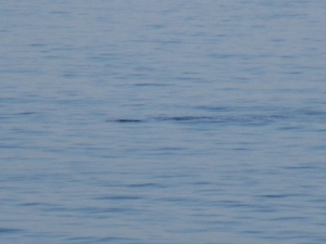 This is my attempt of catching the Minke whale on camera! I promise it was there seconds before.