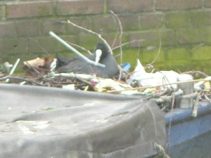 This picture was taken when we were visiting Amsterdam, the Coot is building a nest using anything it can find.