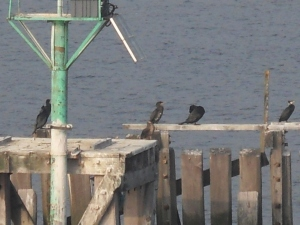 Cormorants resting on the Wooden fence before leaving the Tyne