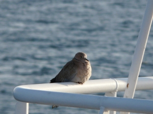 Another visitor on deck this time a Collared Dove
