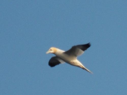 gannet 4