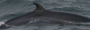 This is a picture shows the small dorsal fin of the Minke whale.http://en.wikipedia.org/wiki/File:Minke.jpg