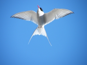 Tern flying high