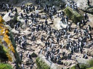Guillemots on a nest site