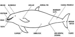 This picture shows the body features of toothed Whales