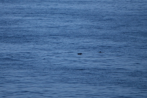 A glimpse of the porpoise spotted swimming near the Kings Seaways