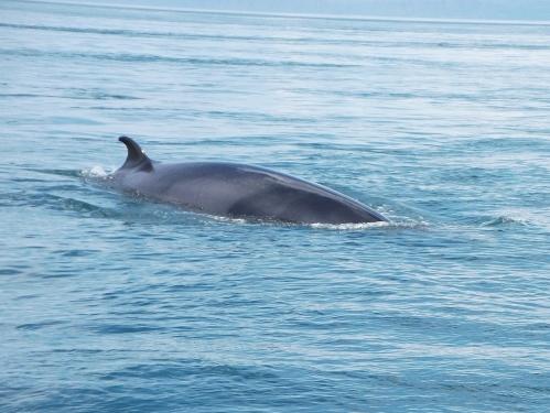 A minke whale!
