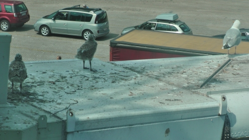 The two herring gull chicks wandering from the nest (to the left of the picture) and scanning the busy car park below.