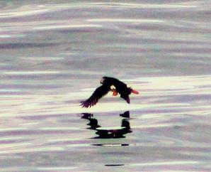 Puffin flying awau