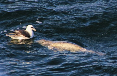 An unfortunate encounter with a dead seal and floating next to a fulmar