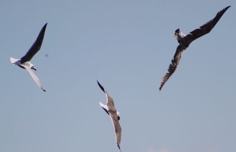 Gulls squabbling over an unidentified item of food