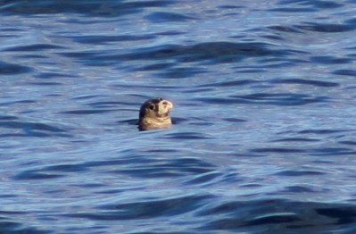 Harbour/Common seal