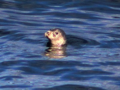 harbour seal 3