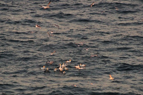 Many gannets feeding on the water at sunset