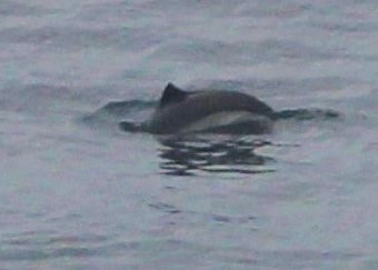 Harbour porpoise close up