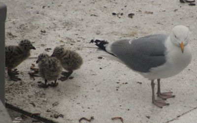 Newly hatched (less than a week old) herring gull chicks on the air bridge in Ijmuiden!