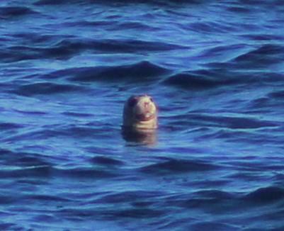 Grey seal spyhopping