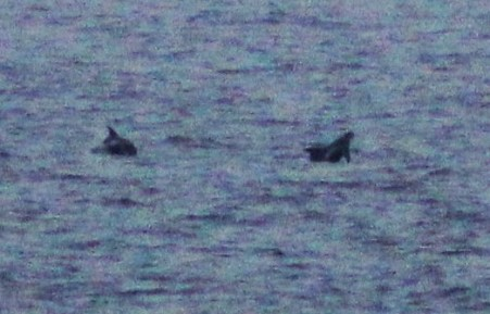 Breaching white beaked dolphins in the distance