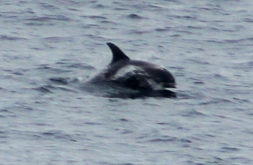White beaked dolphins near the front of the ship