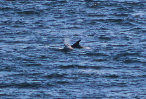Young white beaked dolphin breaching