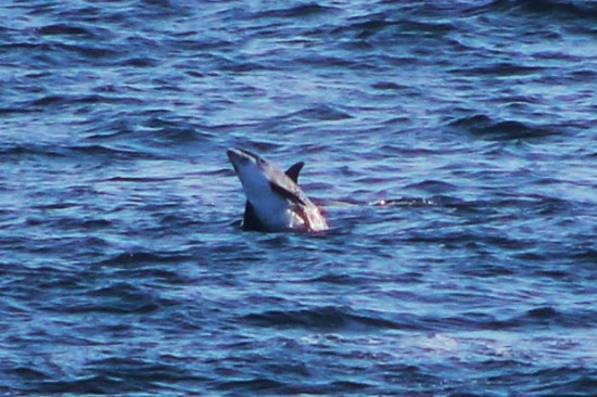 Young white beaked dolphin breaching out the water