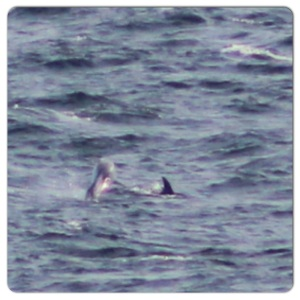 notice the distinctive white saddle behind the dorsal fin