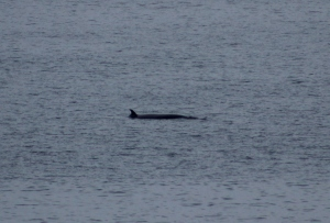 Minkes are small for whales but this photo still doesn't do justice to the mass of these animals.