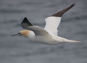 Gannets are Britain's largest seabird and one of our most beautiful.