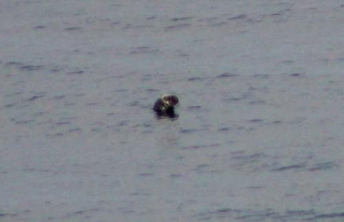 A grey seal spy-hopping