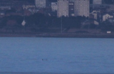 Distant white-beaked dolphins