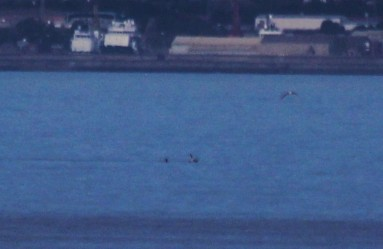 Distant white-beaked dolphins off the coast of Sunderland