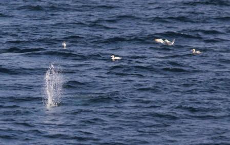 diving gannets (1)