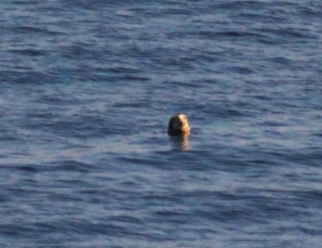 A spy-hopping grey seal