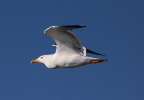 gull with tumour
