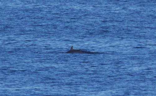 A minke whale! Photographs taken by Tom Page