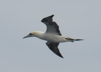 Gannet that had been torpedoing into the water to feed