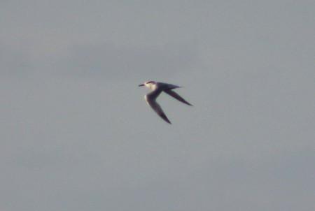 Sandwich tern in its winter plumage