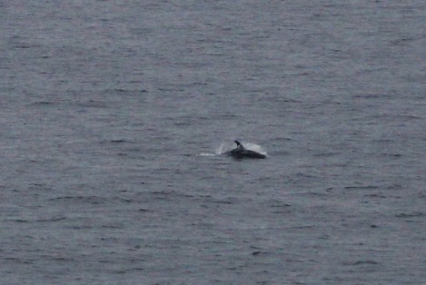 White-beaked dolphins approaching the ship