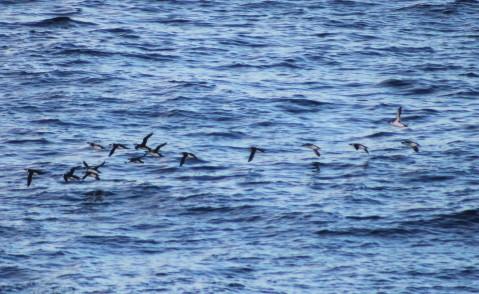 A flock of razorbills