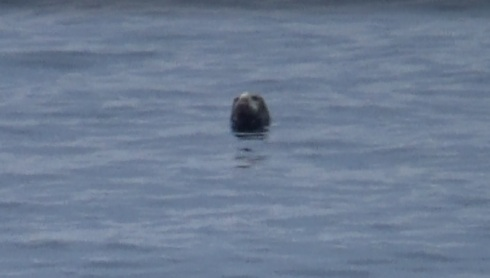Grey seals spy-hopping!