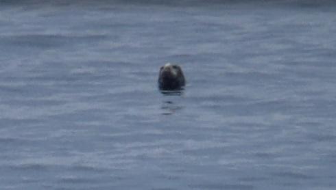 Grey seals spy-hopping!