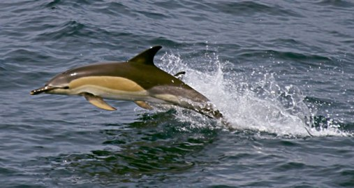 species_common_dolphin