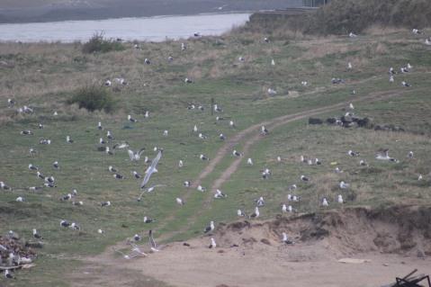 Gulls Ijmuiden