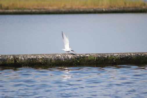 Tern stretching wings