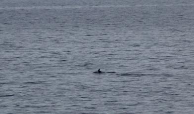 White-beaked dolphin.JPG