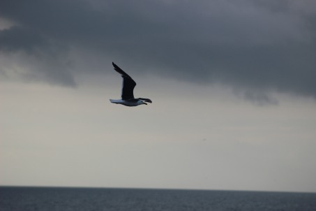 Black-backed gull.JPG